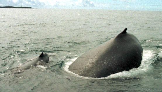 Aumenta a população de baleias jubarte