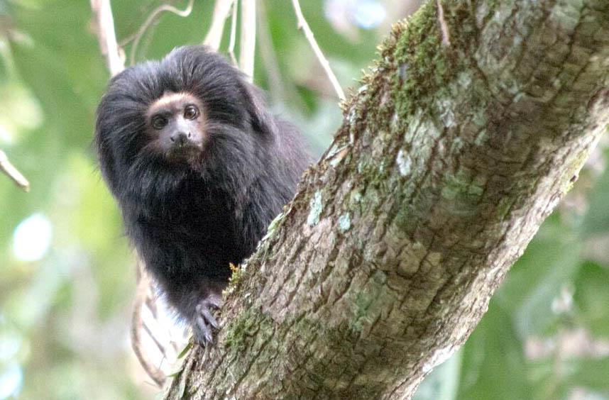 Iniciativa evita extinção do mico-leão-preto