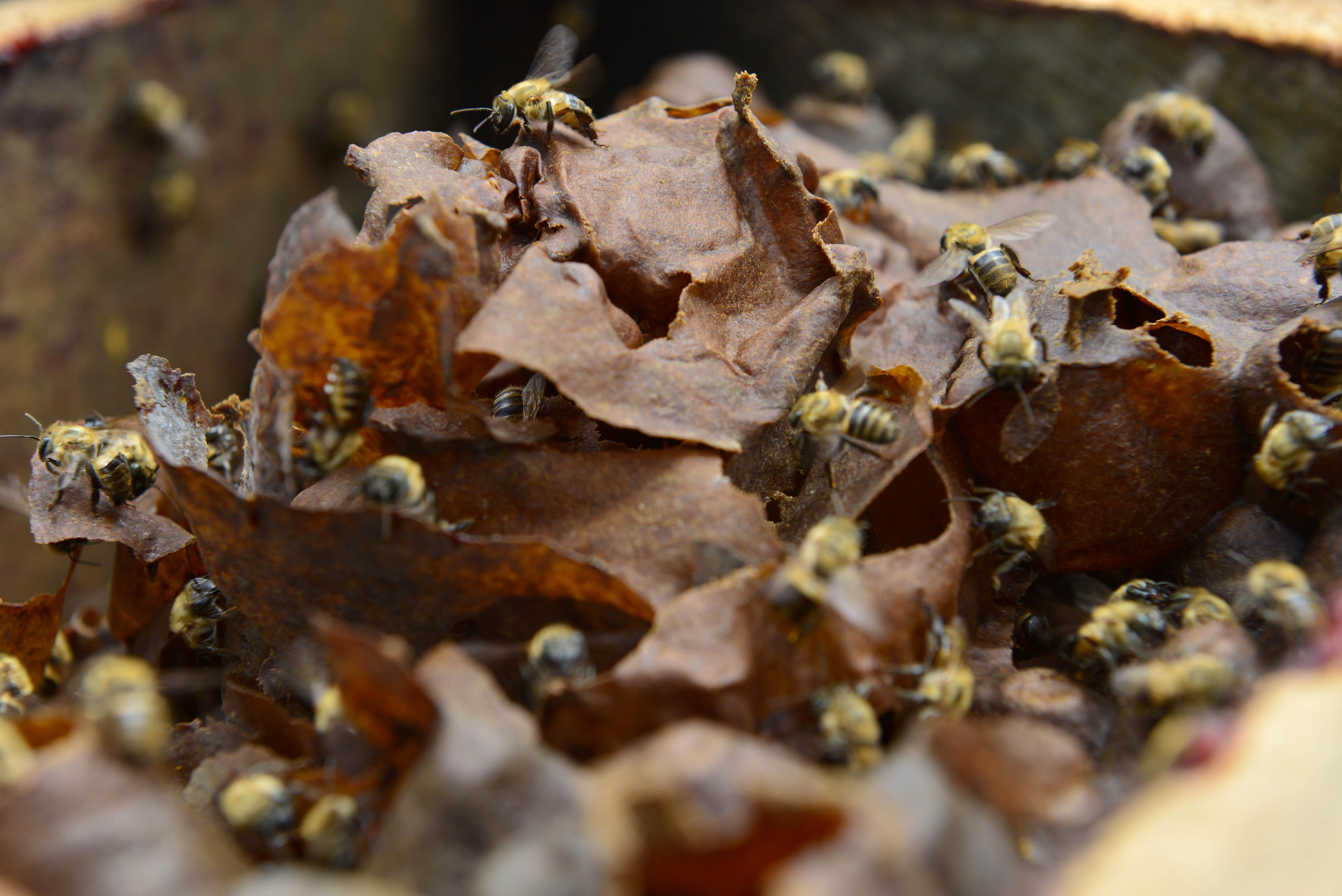 Criação de abelhas sem ferrão terá novas regras