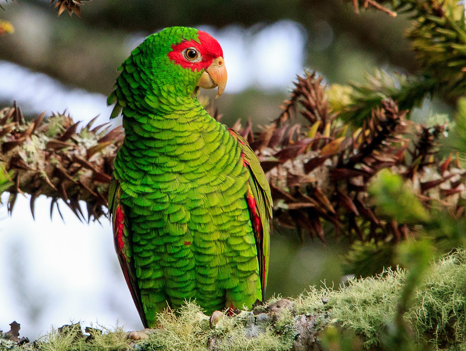 Semana do Papagaio alerta para conservação